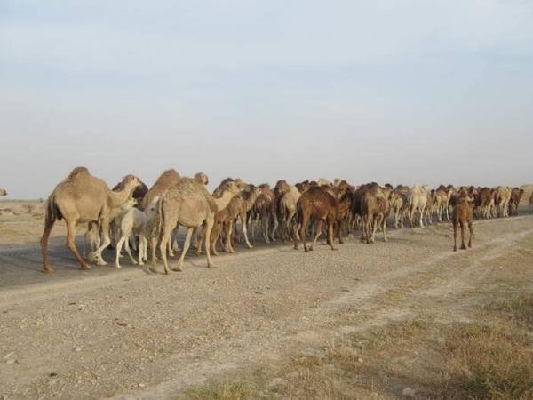 عشایر پرورش دهنده شتر از خنج راهی ییلاق شدند