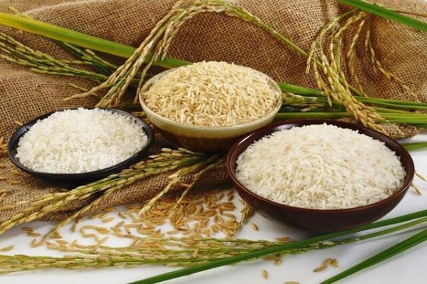 افزایش ضایعات برنج ارمغان قطعی برق به کشاورزان گیلانی